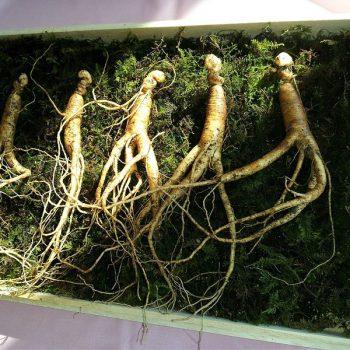 Ginseng coreano è soprannominato il re delle erbe per le sue eccellenti proprietà curative
