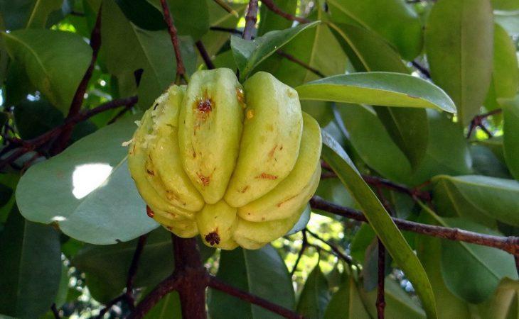 La Garcinia Cambogia è un piccolo frutto giallo o verde